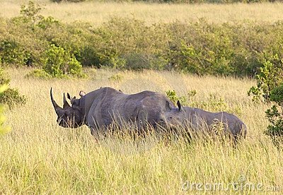 Pair of rhinos on in Masai Mara