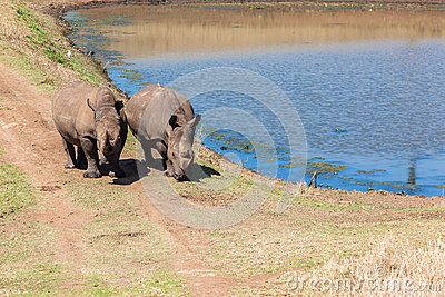 Rhinos Wildlife Water Hole