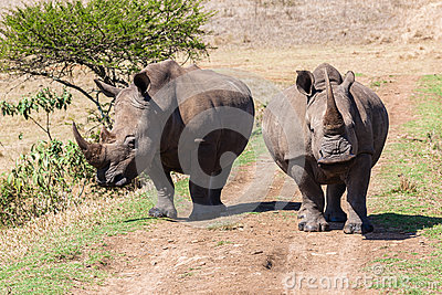 Rhinos Growl Snorts
