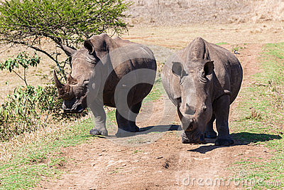 Rhinos Wildlife Head-On