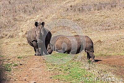 Rhinos Wildlife Crossing Head-On
