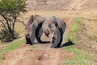 Rhinos Wildlife Straight-On