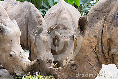 Rhinos in Zoo