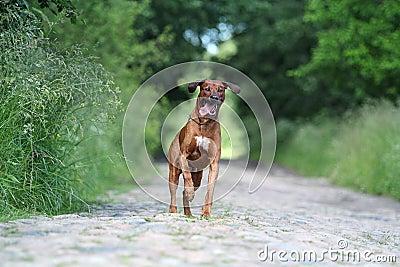 Rhodesian Ridgeback dog run