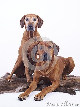 Rhodesian ridgeback dogs couple