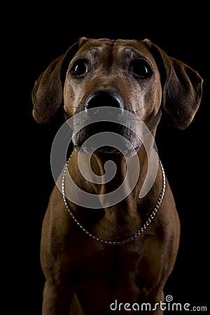 Rhodesian ridgeback female dog, lowkey headshoot