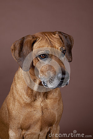 Rhodesian Ridgeback Hound Dog
