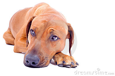 Rhodesian Ridgeback hound lying