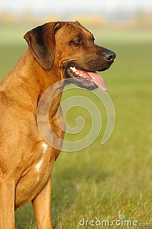 Rhodesian ridgeback male