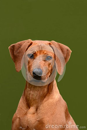 Rhodesian Ridgeback junior dog portrait