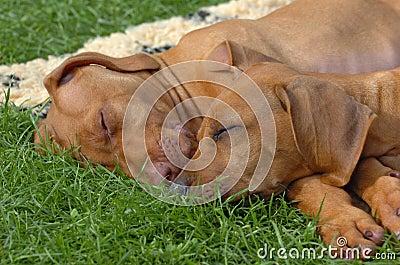Rhodesian ridgeback puppies sleeping
