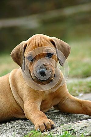 Free Rhodesian Ridgeback Puppy Royalty Free Stock Image - 1182526