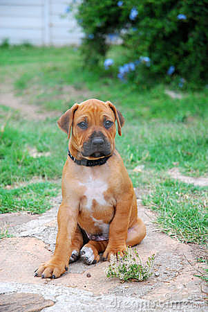 Rhodesian Ridgeback Puppies on Stock Image  Rhodesian Ridgeback Puppy  Image  6009291