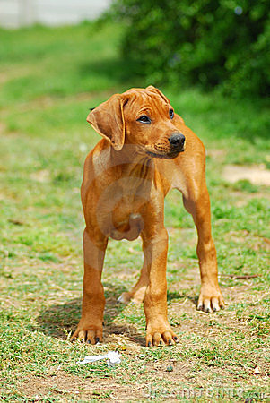 Rhodesian Ridgeback Puppies on Royalty Free Stock Image  Rhodesian Ridgeback Puppy  Image  6973126