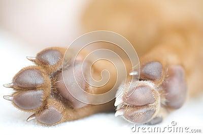 Rhodesian Ridgeback puppy paws closeup
