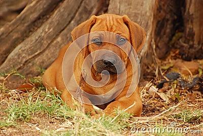 Rhodesian Ridgeback puppy woods