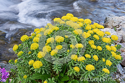 rhodiola-rosea-texture-leaves-flowers-ru