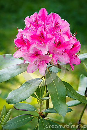 Free Rhododendron Royalty Free Stock Photo - 41329445