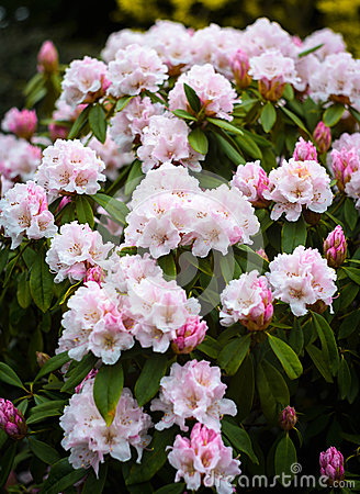 Free Rhododendron Royalty Free Stock Photo - 52388305