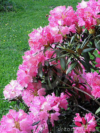 Free Rhododendron Stock Photography - 8250932