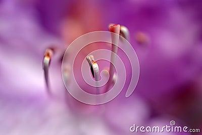 Rhododendron flower.