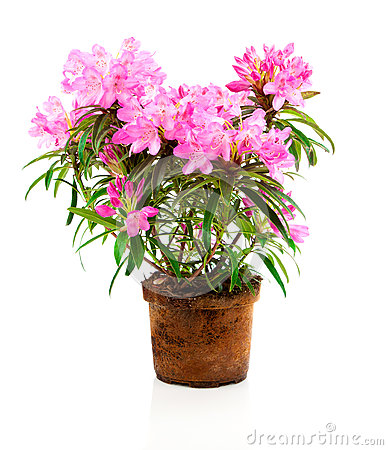 Free Rhododendron Flowers Royalty Free Stock Image - 69101166