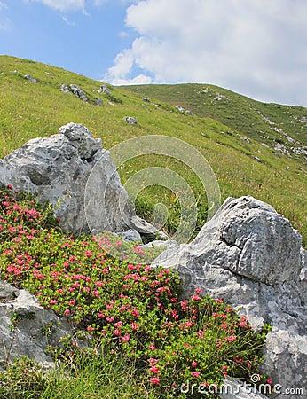 Rhododendron flowers, alpine pasture landscape, Slovenia