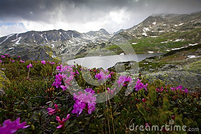 Rhododendron flowers in high mountains