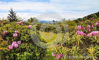 Rhododendrons Blue Ridge Roan Mtn TN