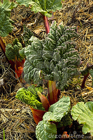 Rhubarb Stock Photos - Image: 14281043