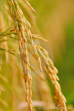 Free Rice Royalty Free Stock Images - 16589699