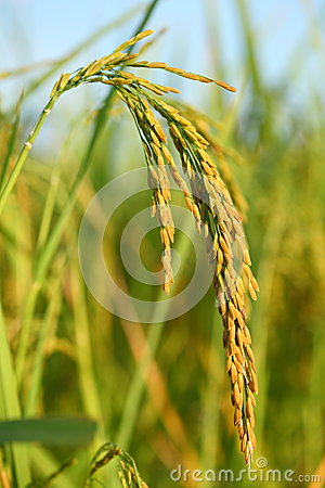 Free Rice Stock Images - 27475844