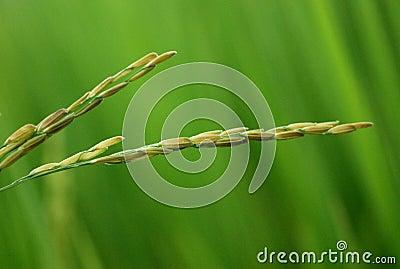 Rice Closeup