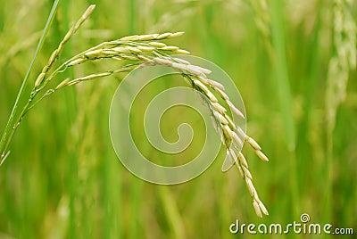 Rice Closeup II
