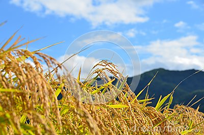 Rice crop field scenary