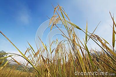 Rice ear