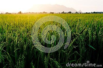 Rice farm ,