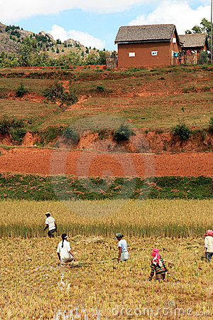 Rice farm in Madagascar Editorial Photography