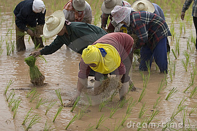 Rice farmers in northern Thailand Editorial Image