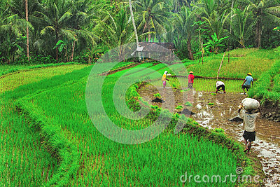 Rice Farming Editorial Photo