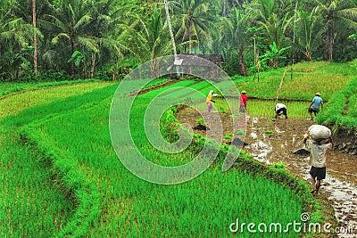 Rice Farming Editorial Photo