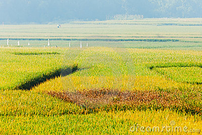Rice Field Stock Photos - Image: 21992563