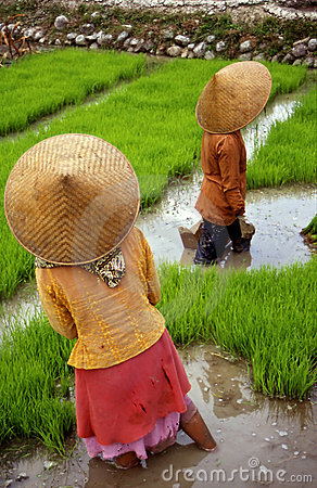 Free Rice-field Stock Image - 607761