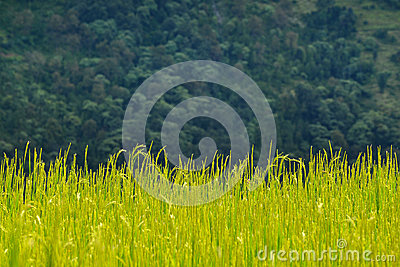 Rice field at autumn