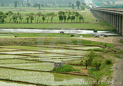 Rice field with bridge