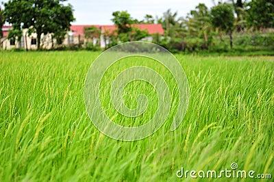 Rice field in Cambodia