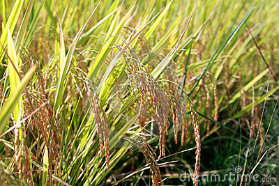 Rice field crop