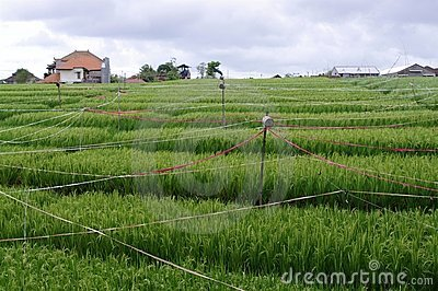 Rice field on a farm