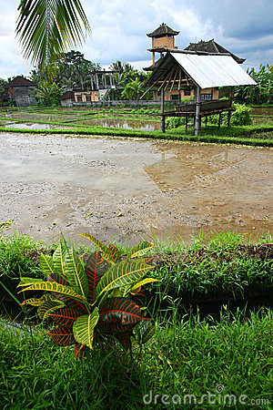 Rice field, farmer hut, Bali scenic view