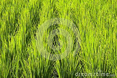 Rice field fragment